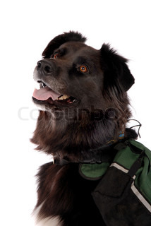A Portrait if a black dog, german shepard and Boarder Collie cross, wearing a back pack