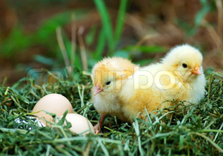 Two chicken and eggs in nest