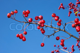 Sprig of hawthorn with a red ripe berries against a blue sky