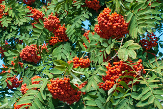 Ripe rowan berries on tree