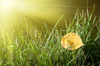 yellow leaf on green grass and sunshine