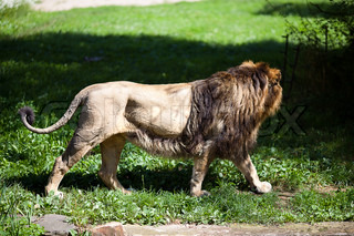 big beautiful lion at the zoo