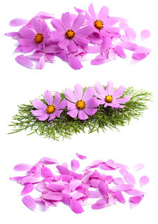 Flowers with petals isolated on white background