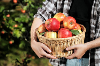 Farmer holding a wicker basket full of harvested apples