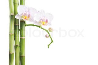 hvid orkidé og bambus isoleret på hvidt