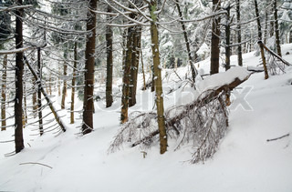 dark wild winter forest with rime and snow covered spruce trees