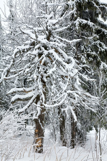 Winter forest with rime and snow covered spruce trees