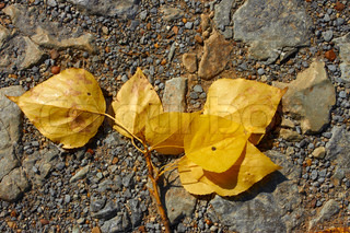 Poplar twig with yellow leaves lying on the small pebble