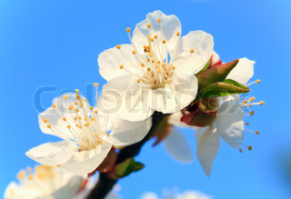 Blossoming twig of cherry-tree on blue sky background