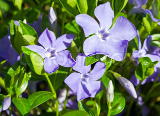 Plants of periwinkle with flowers (spring background)