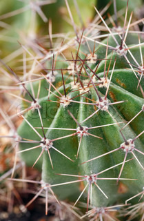 Part of thorny potted home Barrel cactus plant