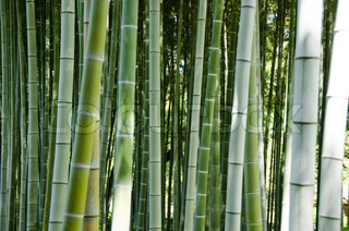 Green bamboo forest background with focus on the stems