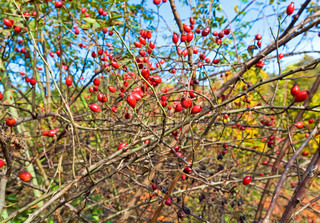 Bush with red hips like the september nature background