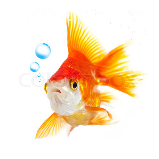 goldfish and bubbles on a white background