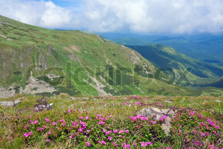 Rhododendron flowers and barbed wire on place of first world war operationson in summer mountainside (Ukraine, Carpathian Mountains)