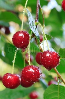 twig of cherry-tree with red cherries and dew Composite photo with considerable depth of sharpness