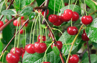 Twig of cherry-tree with red cherries and dew Composite macro photo with considerable depth of sharpness