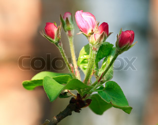 Spring blossoming twig of apple tree with flowers