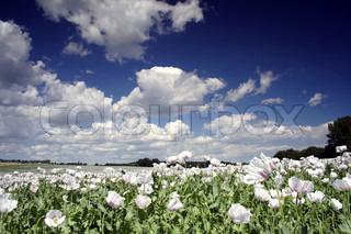 field of poppy seed flowers under clouds