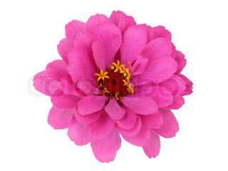 Isoleret Zinnia blomst på hvid baggrund