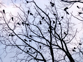 Crows on tree twig on evening sky background