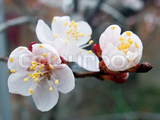 Flowers of blossoming apricot - tree (spring orchard)