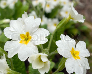 Plant with white spring flowers (with drops of water)