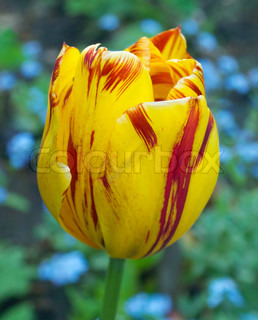 Red-yellow striped tulip flower on blue forget-me-not flower background