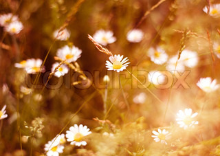 Meadow daisies on a bright and sunny day