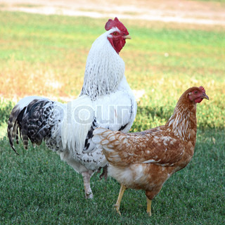 The cock and hen stand in a green grass