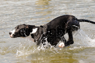 A Great Dane puppy is running in the water