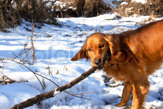 orange young golden retriever dog playing with a stick at snow