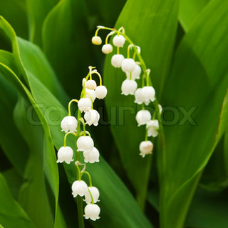 Blooming Lily -of - the- dalen closeup