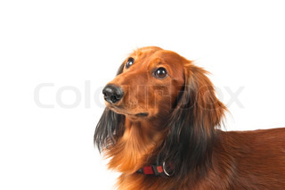 Portrait of longhaired dachshund over white