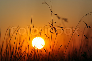 Silhouette of field grass in meadow during sunset
