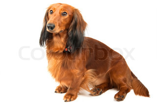 Sitting longhaired dachshund over white background