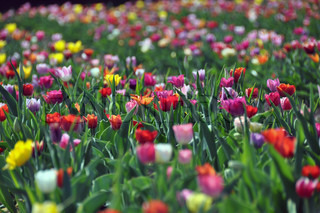 Field of colourful tulips in various colors: Red, yellow, purple, orange