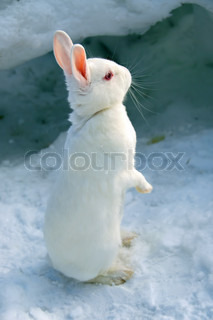 A cute white rabbit standing in the snow