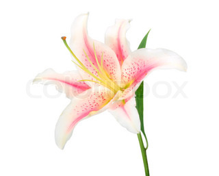 One white-pink lily with green leaf Isolated on white background