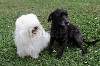 uncommon breed of dog Coton de Tulear and black dog