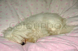 uncommon breed of dog Coton de Tulear sleeping in the bedclothes