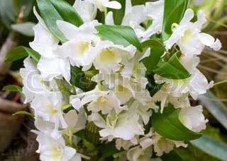 beautiful white orchid flowers cluster(macro)