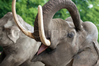 Elephant closeup