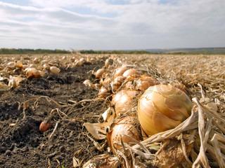 Ripe onion in ground