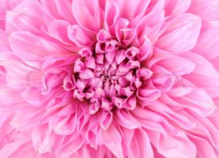 Pink Dahlia blomst close up , mikro skudt
