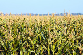 background of many corn plant on the field