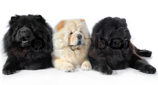 three dogs breed chow-chow on a white background