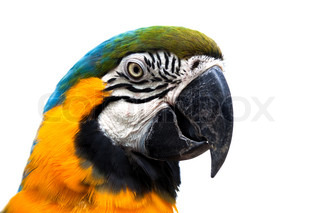 head of a beautiful parrot on white background