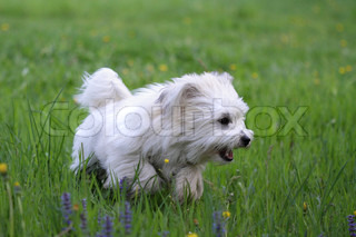 Puppy uncommon breed of dog Coton de Tulear