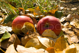 Red apples on ground with yellow leaf